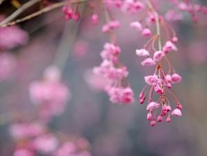 Yahoo玄関前の桜